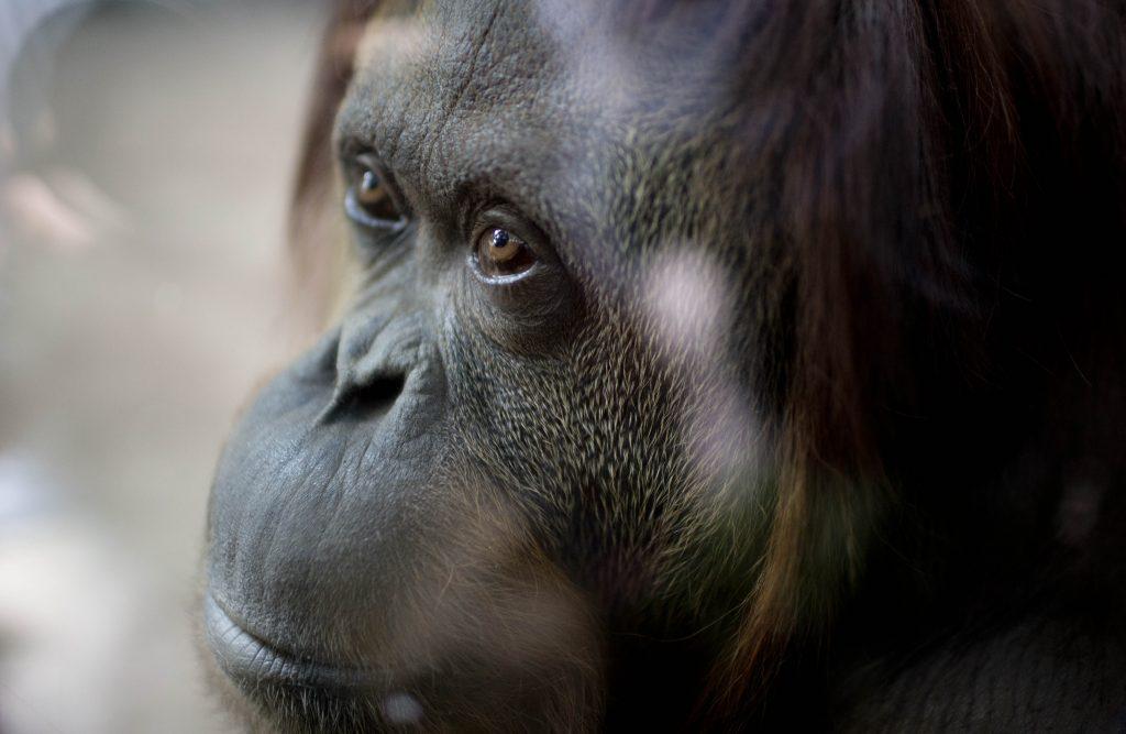 Dve krásne duše a boj za ľudské práva pre opice