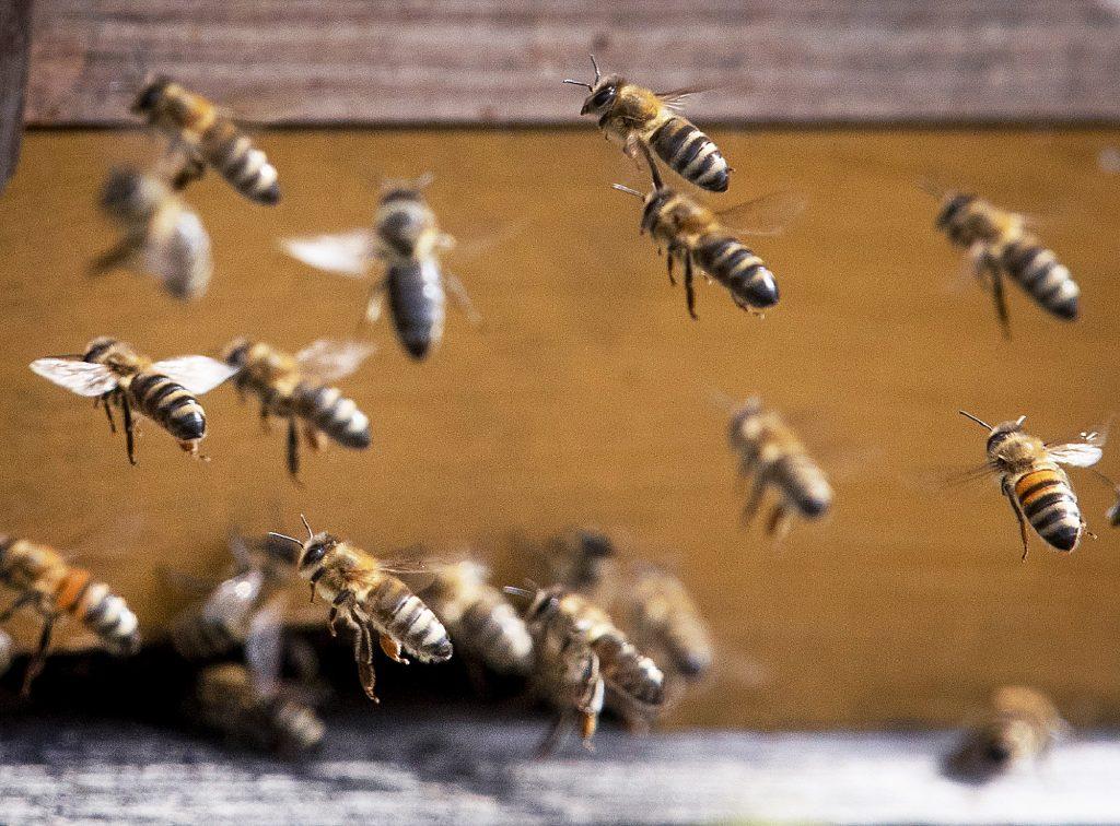 Úhyny včelstiev rastú, objavili sa infekčné choroby, čo tu neboli desaťročia, varuje včelár