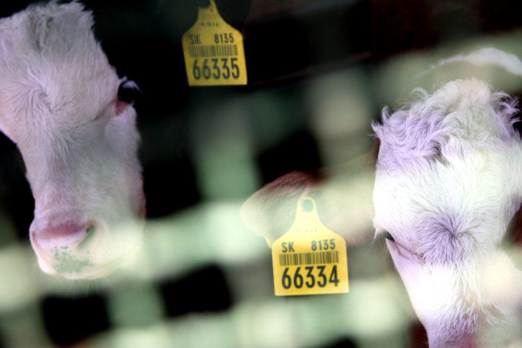 Reportáž z farmy: Reštaurácie nevaria, zachránili sme sa stejkami predávanými z dvora