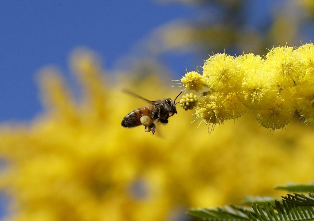 Včela medonosná inak: Invazívny druh, ktorý potláča iné opeľovače
